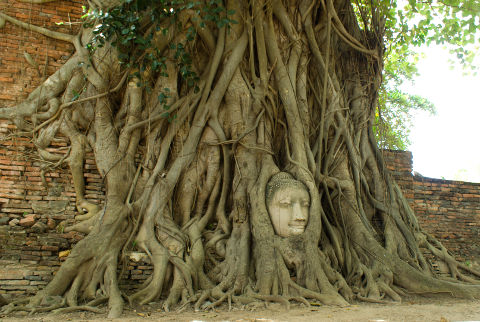 Buddha head in a banyan tree